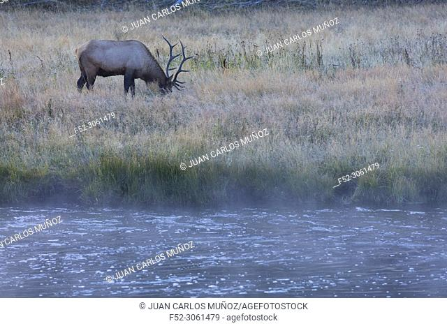 Elk or Wapiti (Cervus canadensis), Madison Canyon, Yellowstone National Park, Unesco World Heritage Site, Wyoming, Usa, America