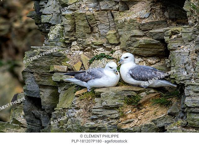 Northern fulmars / Arctic fulmar pair (Fulmarus glacialis) nesting on rock ledge in cliff at seabird colony at Hermaness, Unst, Shetland, Scotland, UK
