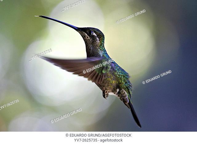 Hummingbird in flight. San Gerardo de Dota, Costa Rica, Central America