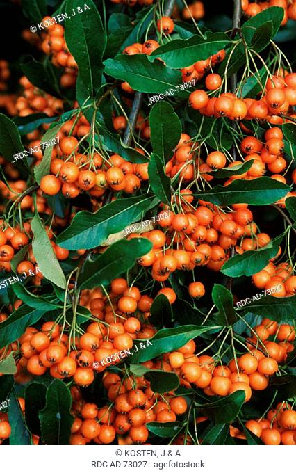 Firethorn berries Pyracantha coccinea