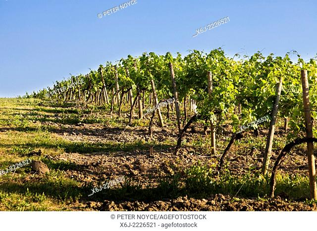 Ends of the rows of grape vines