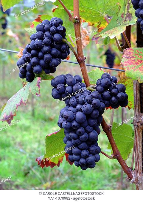 Ripened french grapes Pinot noir at Ottrott  Road wine, Bas Rhin, Alsace, France