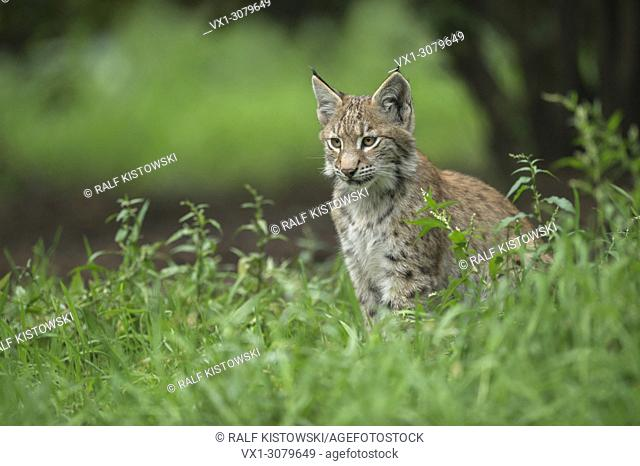 Young Eurasian Lynx ( Lynx Lynx ) sits in high grass under bushes, Europe. .