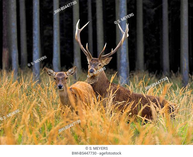 red deer (Cervus elaphus), rutting stag with hind on high grass, Germany, Saxony