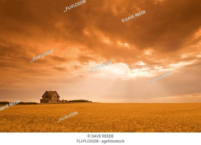 Abandoned farm in durum wheat field, near Assiniboia, Saskatchewan, Canada