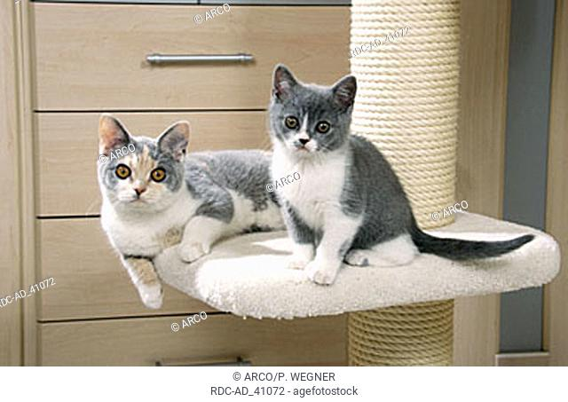 British Shorthair Cat blue-cream-white and kitten blue-white