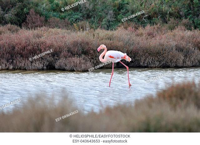 Greater Flamingos (Phoenicopterus roseus), Regional Natural Park of the Camargue, France