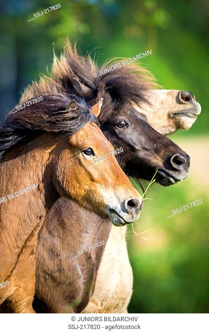 Icelandic Horse. Three adults on a pasture, portrait. Austria