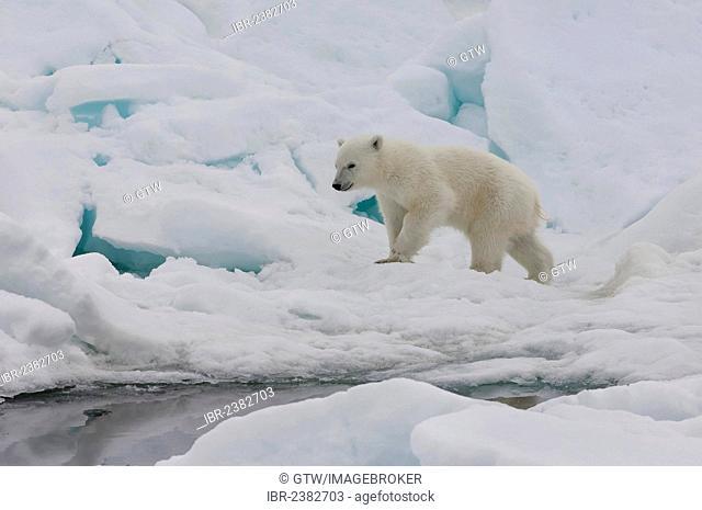 Polar bear cub (Ursus maritimus) walking over pack ice, Svalbard Archipelago, Barents Sea, Norway, Arctic