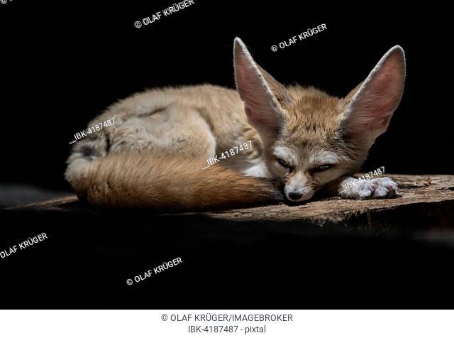 Fennec fox or fennec (Vulpes Zerda), captive, Baden-Württemberg, Germany