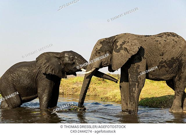 African Elephant (Loxodonta africana) - Cow on the left greets a bull at the bank of the Chobe River. Photographed from a boat