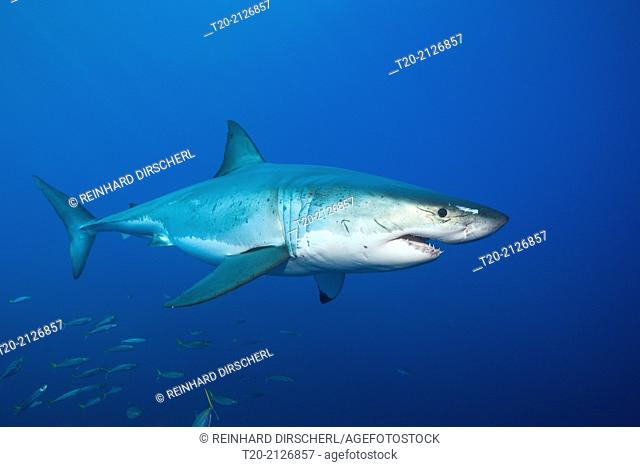 Great White Shark, Carcharodon carcharias, Guadalupe Island, Mexico