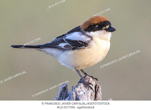 Woodchat shrike (Lanius senator) from his watchtower in the meadow, Extremadura, Spain