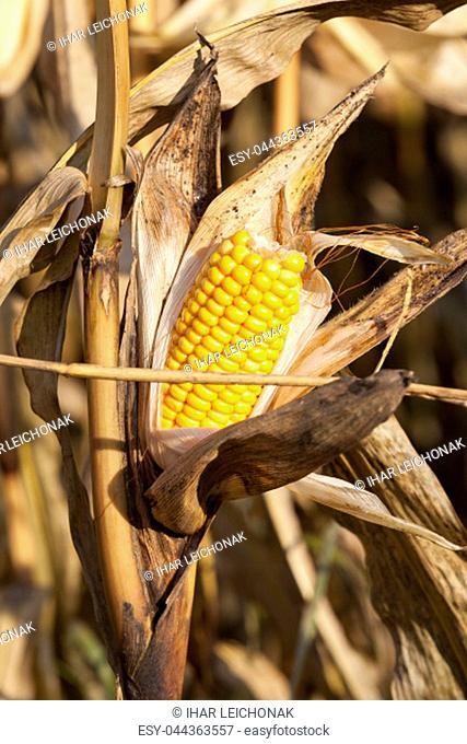 late corn crop with yellow seeds cob, closeup