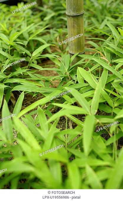 Close Up Image of Bamboo Grass
