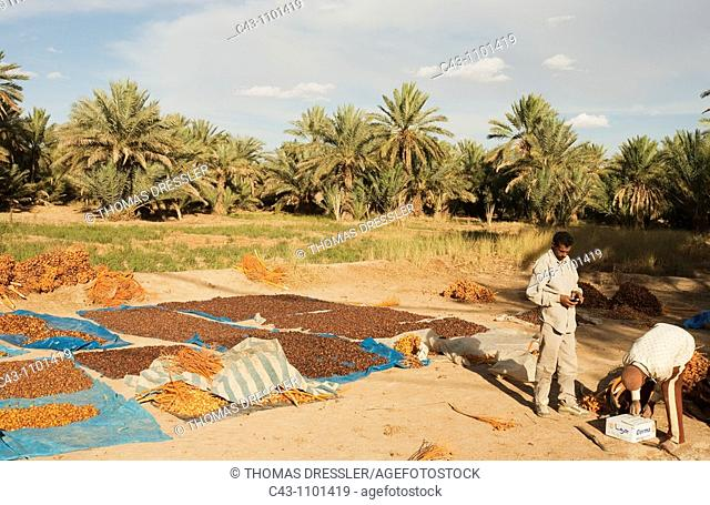 Morocco - During the date harvest date palm, Phoenix dactylifera in October the dates have been graded according to quality and size and now are sun-dried in...