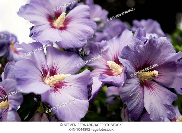 Close up of Hibiscus syriacus , Oiseau Bleu also known as Blue Bird