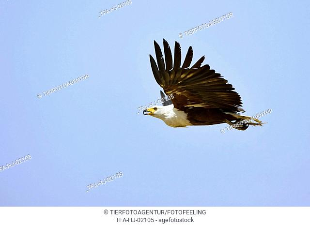 flying African fish eagle