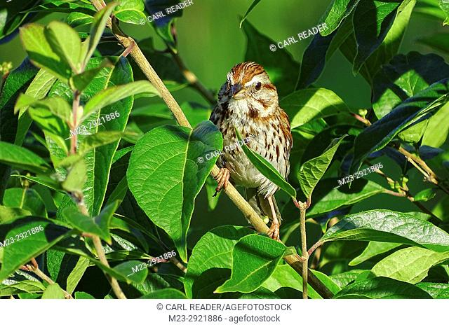 A song sparrow, melospiza melodia, clings to a branch, Pennsylvania, USA