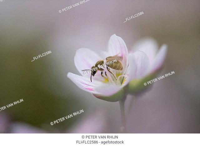 insect pollinating spring beauty flower, claytonia virginica, close-up, Ontario Canada