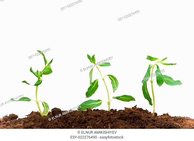 Three seedlings isolated on the white background