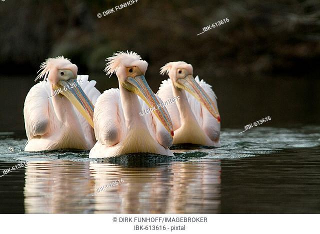 Three White Pelicans (Pelecanus onocrotalus) swimming in wedge formation toward viewer, Mannheim, Baden-Wuerttemberg, Germany, Europe