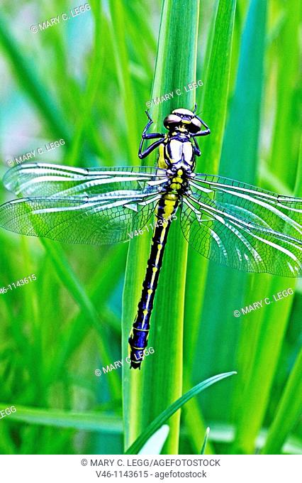 Emerging Common Clubtail, Gomphus vulgatissimus clings to marsh grass after emerging  eyes are still grey and not fully formed  Before first flight  Wings not...