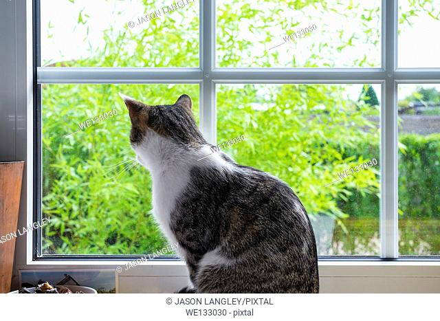 Domestic house cat looking out of bedroom window