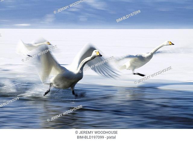 Whooper swans landing on lake