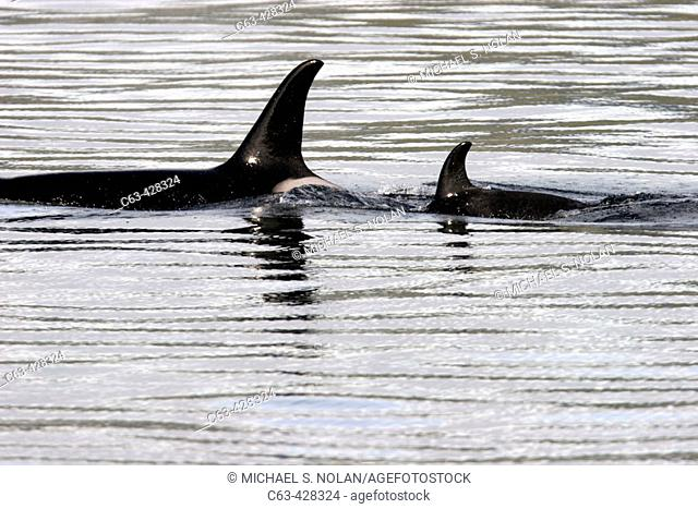 Killer Whales (Orcinus orca) in Southeast Alaska, USA. Pacific Ocean