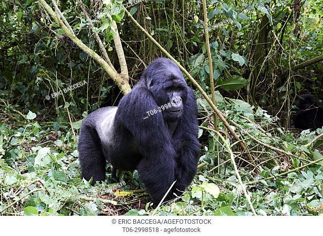Silverback Mountain gorilla (Gorilla beringei beringei) member of Bageni group. Virunga National Park, North Kivu, Democratic Republic of Congo, Africa
