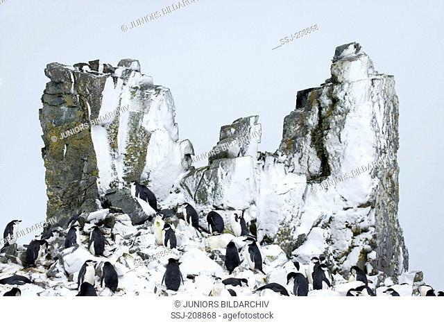 Chinstrap Penguin (Pygoscelis antarctica). Colony next to snowy rock spires. Antarctic Peninsula. No exclusive sales !