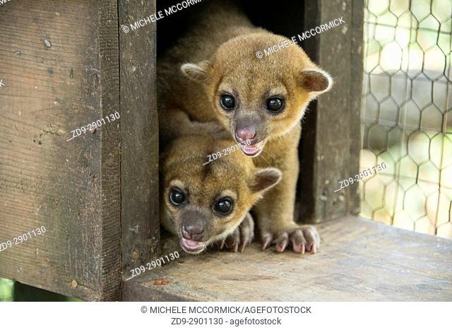 Kinkajou are among the animals protected at Gumbalimba Park in Roatan