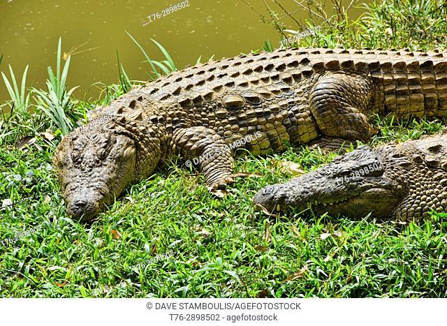 Nile crocodiles, Vakona Reserve, Madagascar