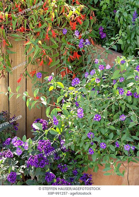 Blue potato bush Lycianthes rantonnetii syn  Solanum rantonnetii, heliotrope Heliotropium and begonia Begonia