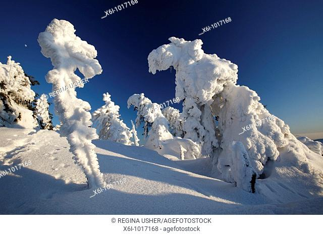 Snow covered Norway Spruce trees, Picea abies, in winter, Brocken mountain, National Park Hochharz, Saxony-Anhalt, Germany