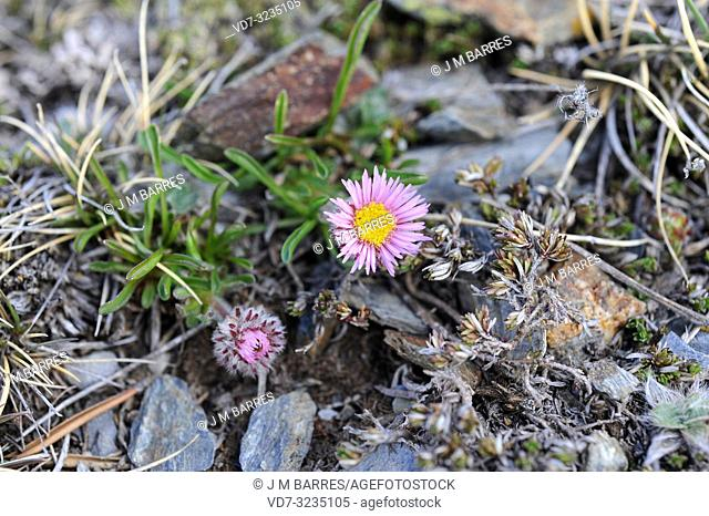 Aragon fleabane (Erigeron aragonensis or Erigeron uniflorus aragonensis) is a perennial herb endemic to Pyrenees. This photo was taken in Huesca Pyrenees