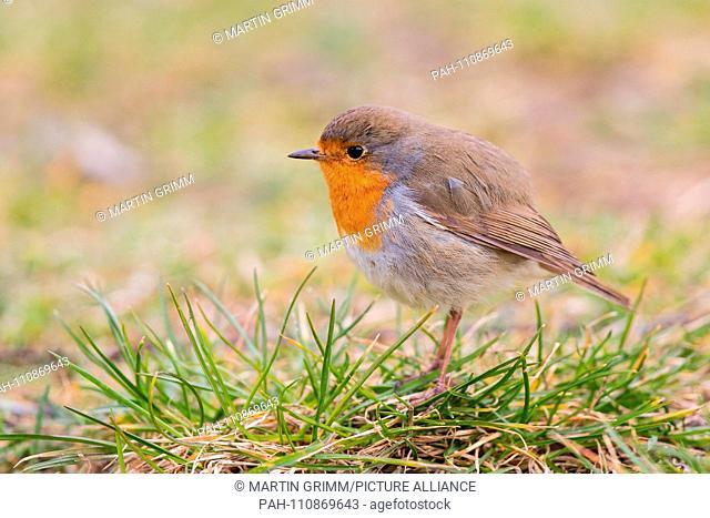 European Robin (Erithacus rubecula) close-up, Baden-Wuerttemberg, Germany | usage worldwide. - /Baden-Württemberg/Germany