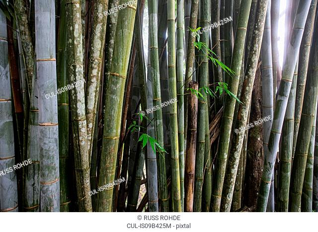 Row of bamboo plants, detail, Reunion Island