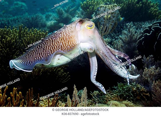 Broadclub cuttlefish (Sepia latimanus) breeding male posturing to another male. Female in background. Komodo, Indonesia