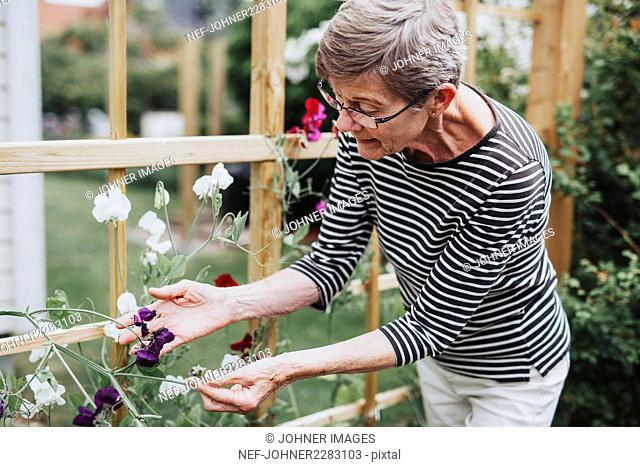 Senior woman checking sweet pea flowers