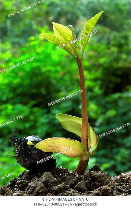 Cashew-nut Anacardium occidentale germinating seed with sapling, during rainy season, Trivandrum, Kerala, India
