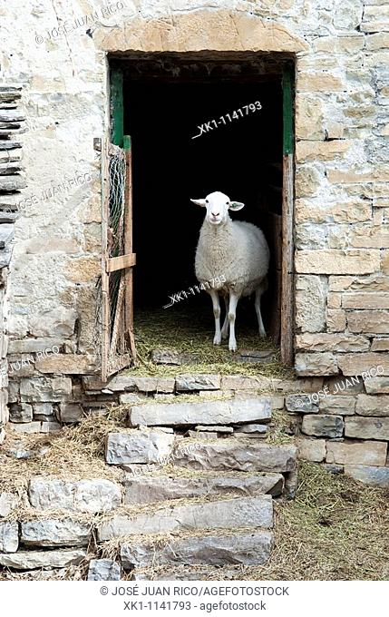 Sheep in a corral in the Pyrenees, Huesca, Spain