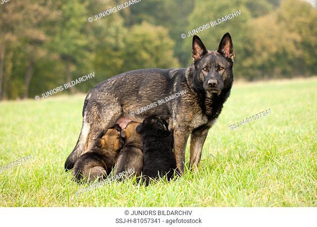 German Shepherd, Alsatian. Mother suckling puppies. Germany
