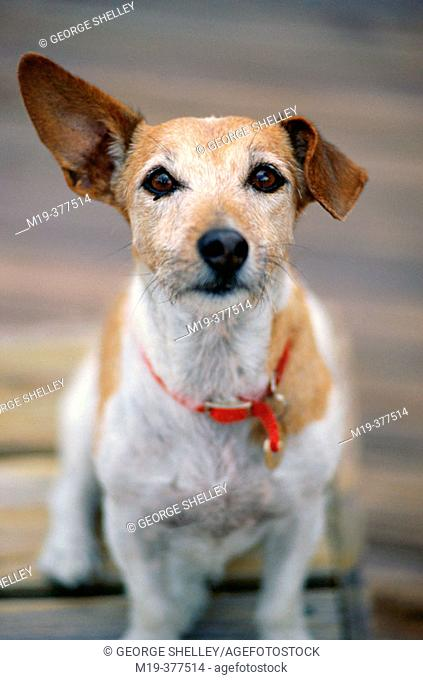 dog with funny ears