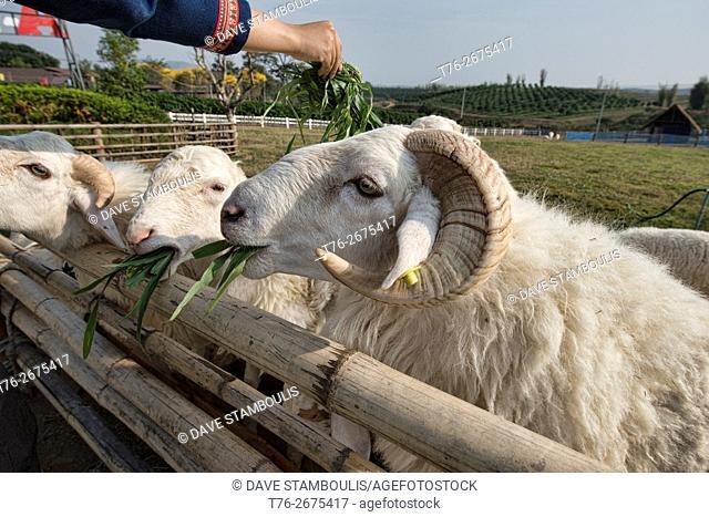 Sheep on a sheep farm in Chiang Rai, Thailand