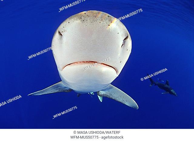 Oceanic Whitetip Sharks, Carcharhinus longimanus, Kona Coast, Big Island, Pacific Ocean, Hawaii, USA