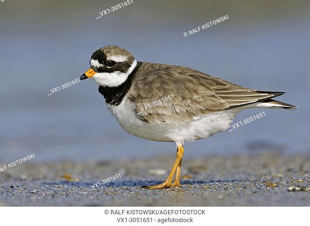 Great Ringed Plover / Common Ringed Plover / (Charadrius hiaticula) tripping along the driftline; North Sea, Germany