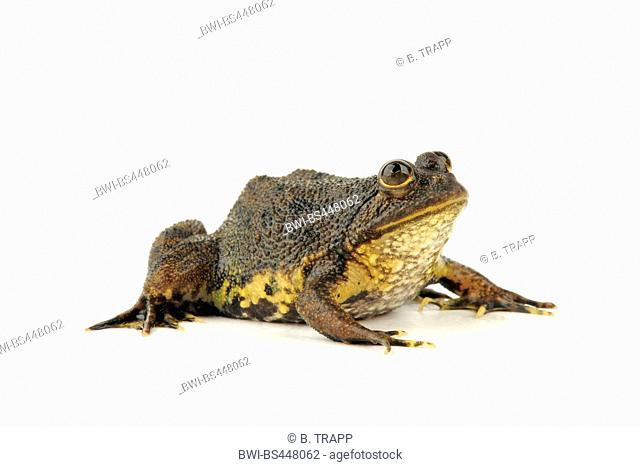 green puddle frog, rough-skinned floating frog, pearly skin puddle frog, pointed-tongued floating frog (Occidozyga lima), lateral view, cutout, Indonesia