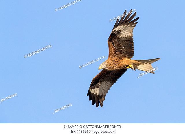 Red Kite (Milvus milvus), adult in flight, Basilicata, Italy